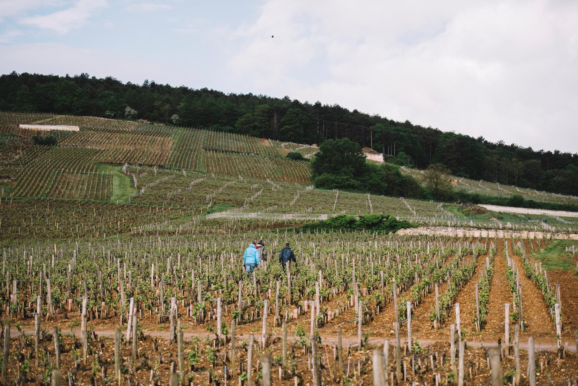 Tutoraggio in vigna | Domaine Leroy | Richebourg | Bourgogne