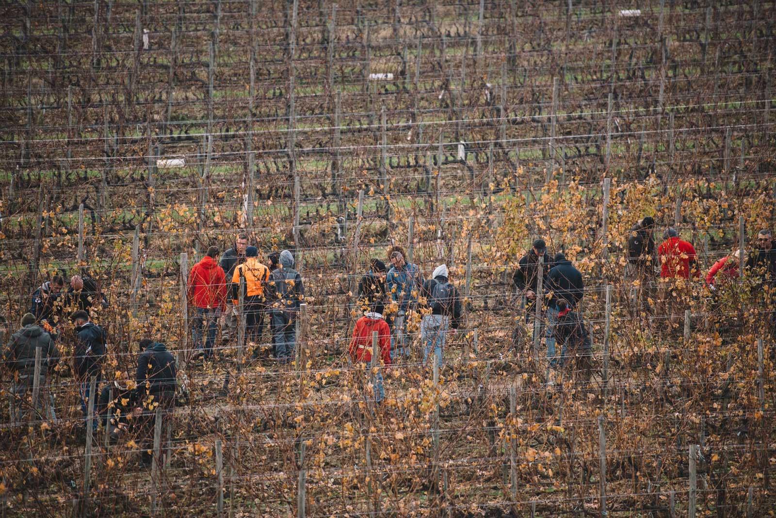 Pruning practice   Schiopetto   Capriva del Friuli   Collio   Friuli Venezia Giulia