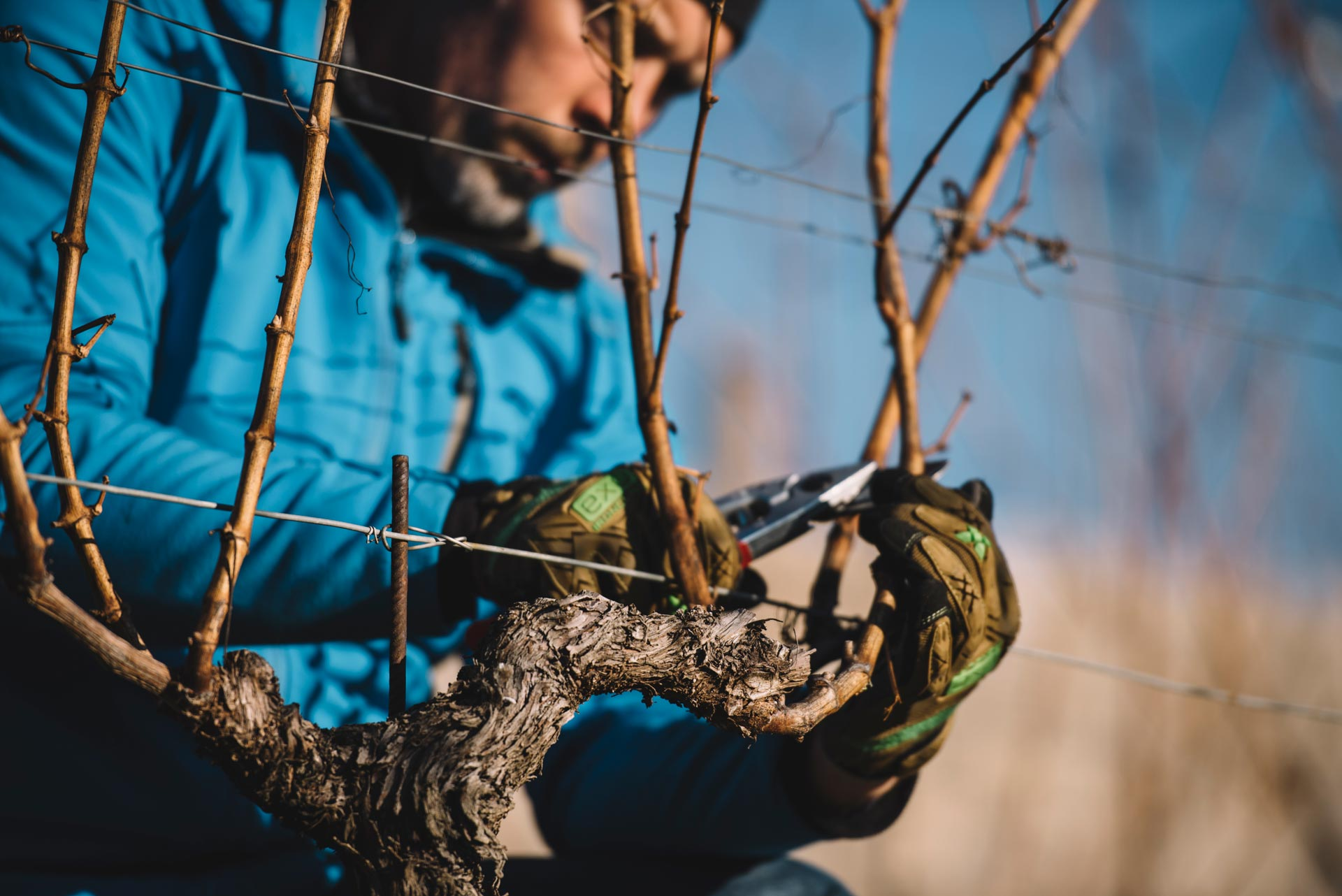 Pruning testing   Schiopetto   Collio   Friuli Venezia Giulia