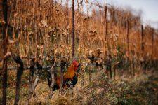 Breeding fowls | Manincor | Caldaro | Alto Adige | Italy