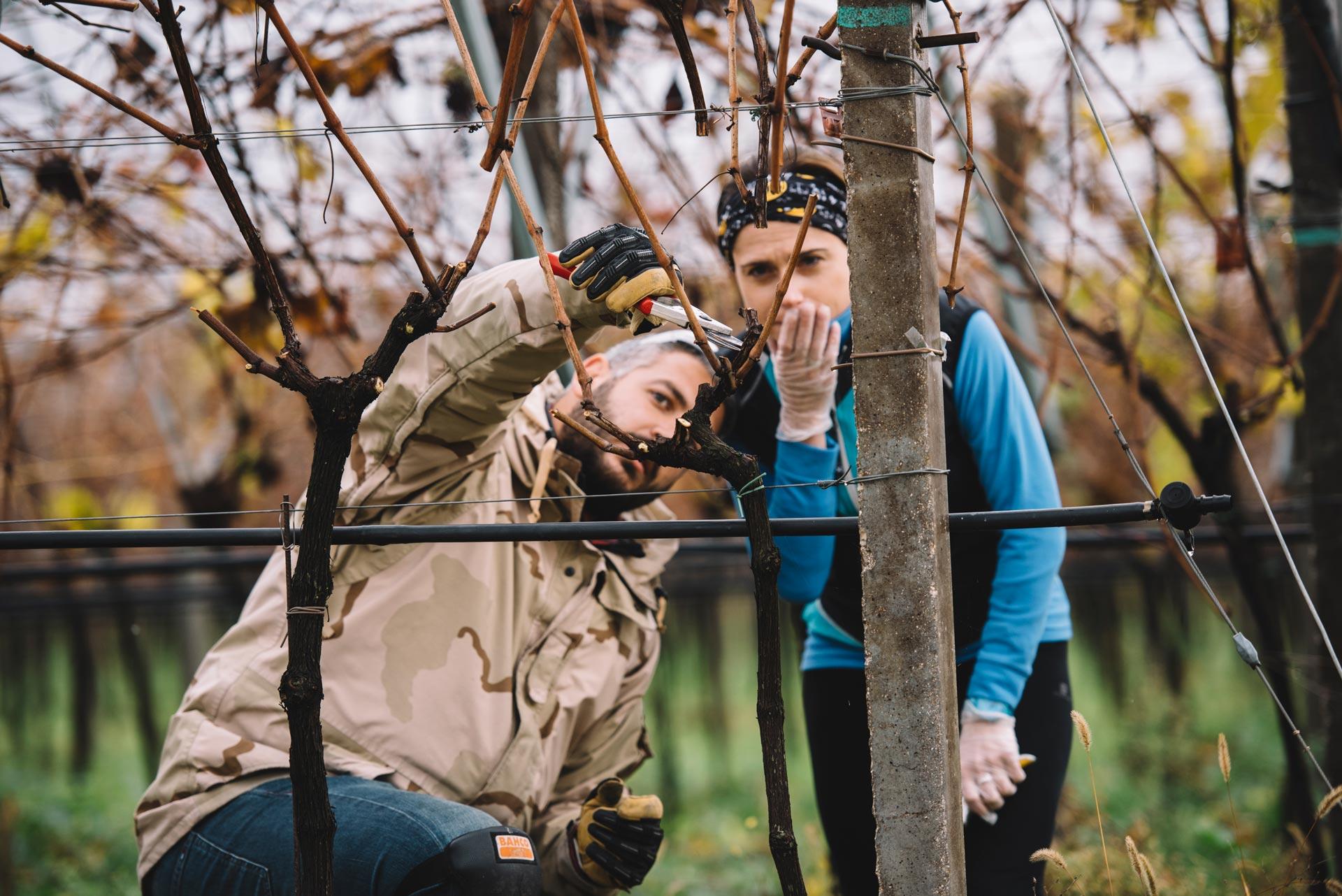 Pruning practice   Valpolicella   Verona