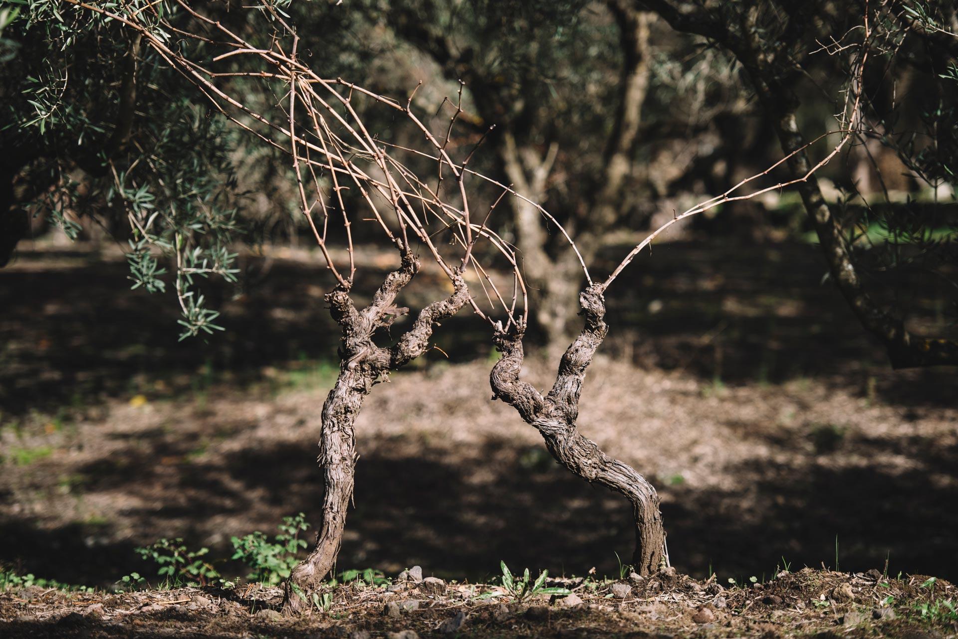Alberelli | Planeta | Passopisciaro | Sicilia