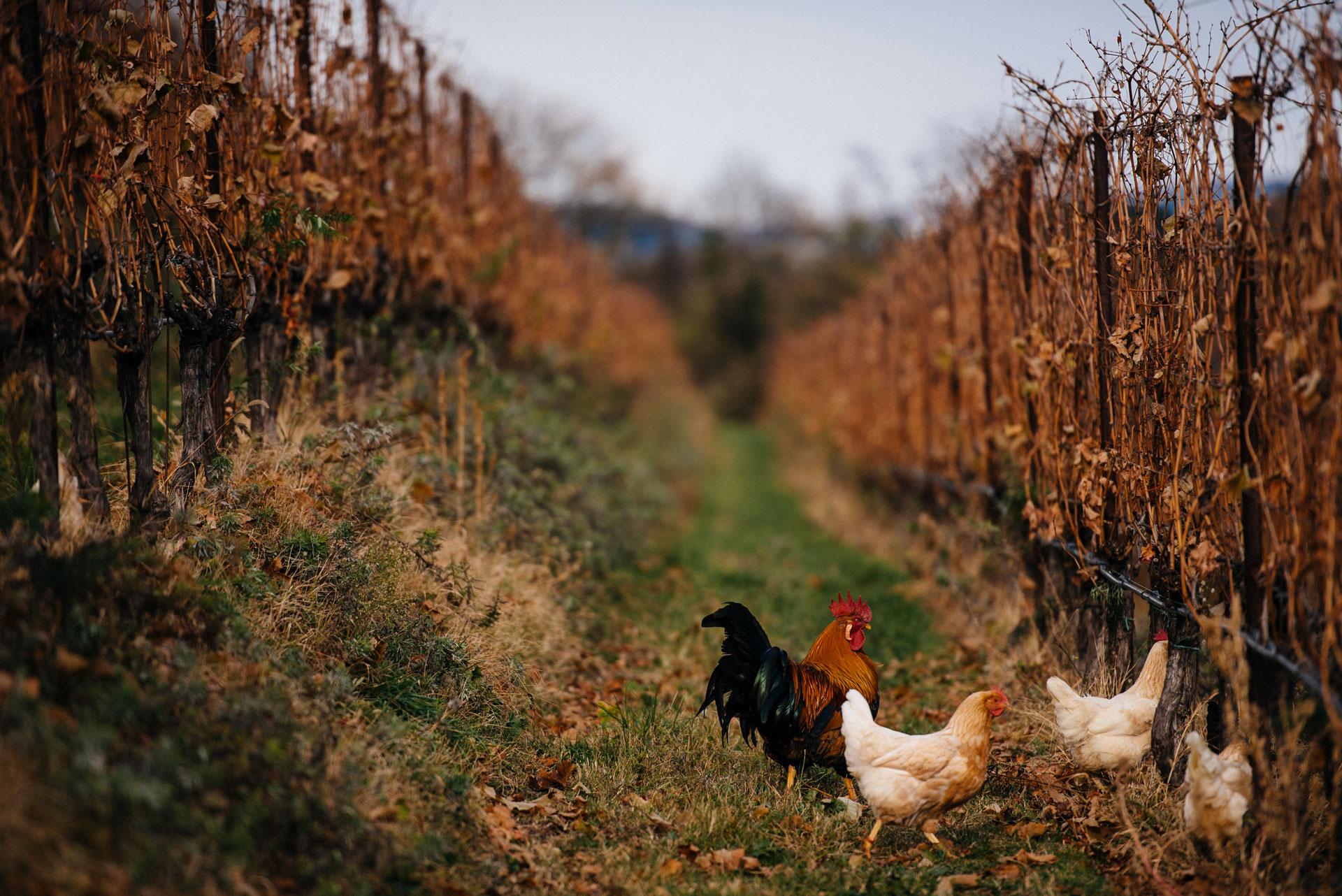 Breeding fowls   Manincor   Caldaro   Alto Adige   Italy
