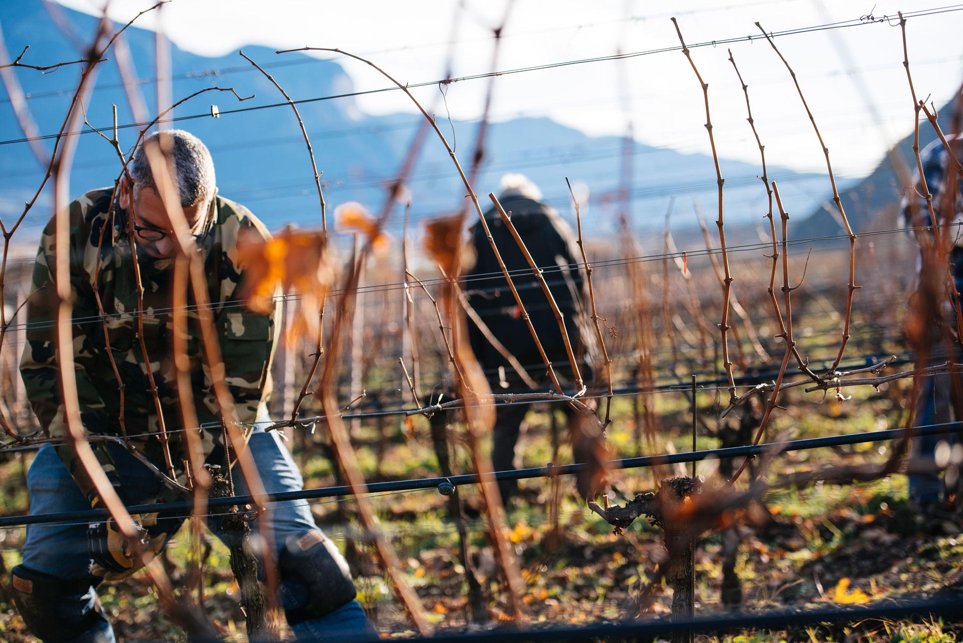 Pruning training   Manincor   Caldaro   Alto Adige   Italy