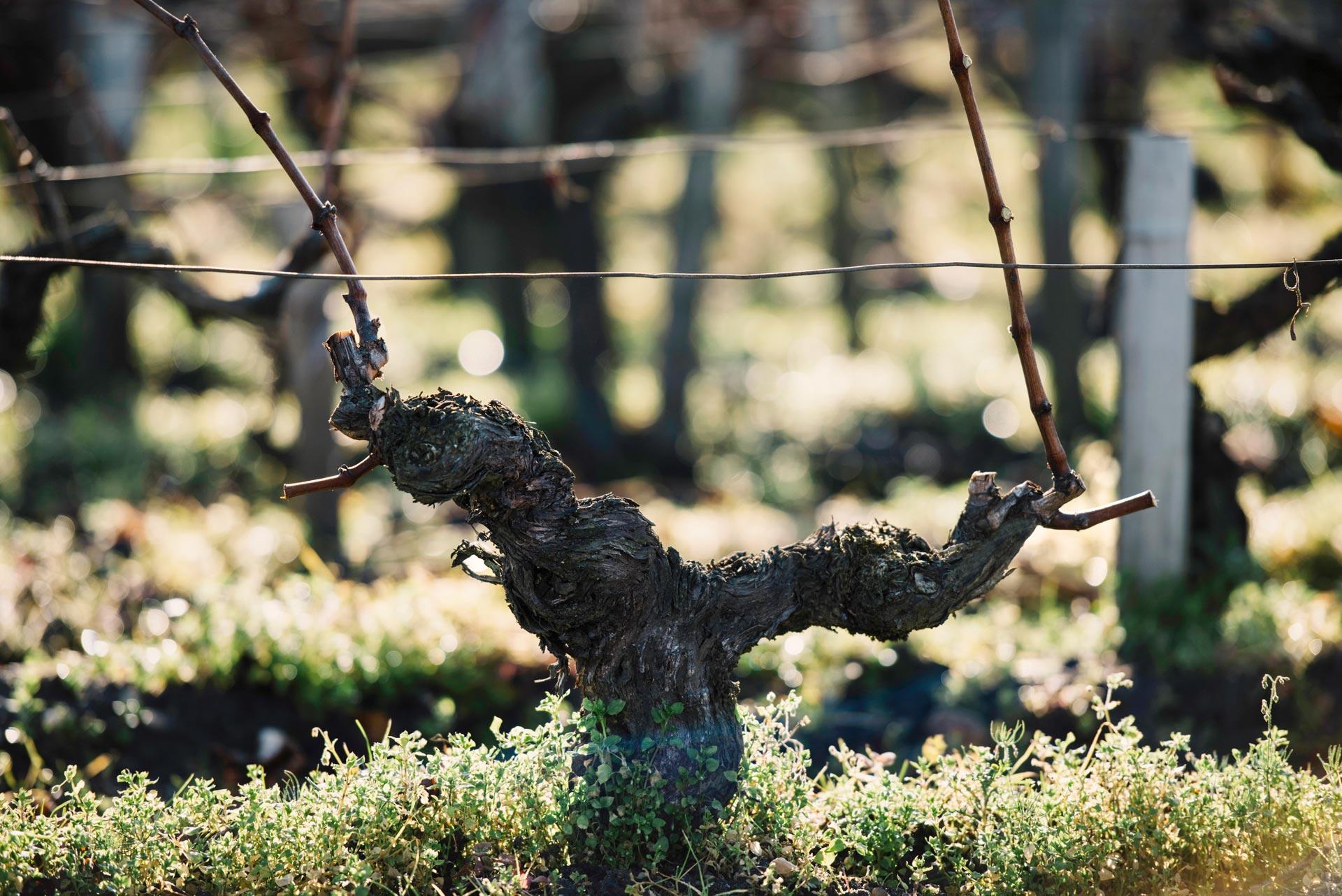 Guyot medoc. Spur development for branching control | Château Pichon Lalande | Pauillac | Bordeaux