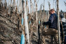 Winter pruning, Selbach Oster, Mosel, Germany