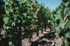 Guyot medoc, esca disease appearance   Pauillac vineyards   Bordeaux