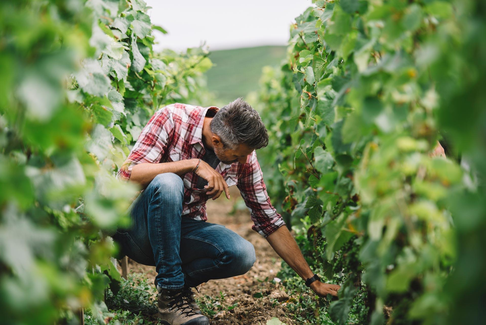 Vineyard screening | Louis Roederer | Champagne