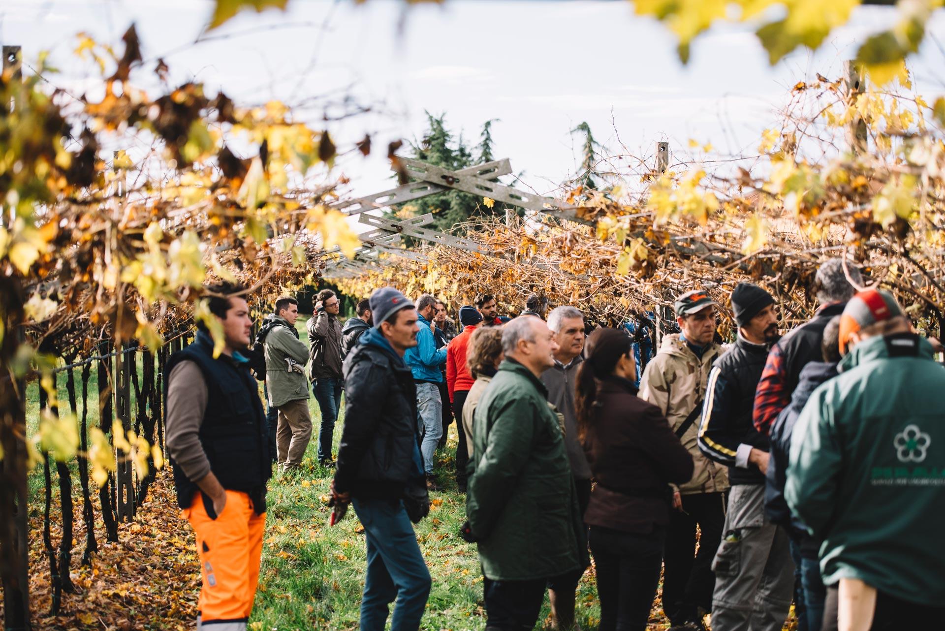 Pruning practice | Valpolicella | Verona