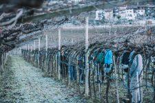 Training for winter pruning of the pergola   Ferrari   Trento