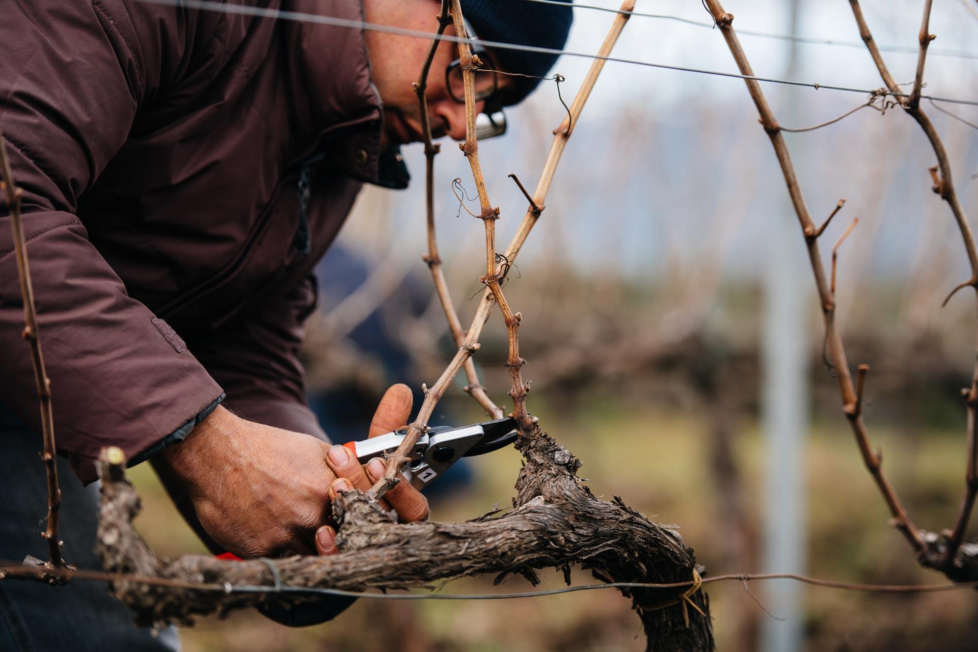 Winter pruning training   Tenuta delle Terrenere   Etna   Sicily
