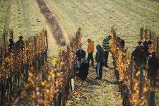 Pruning practice | Schiopetto | Capriva del Friuli | Collio | Friuli Venezia Giulia