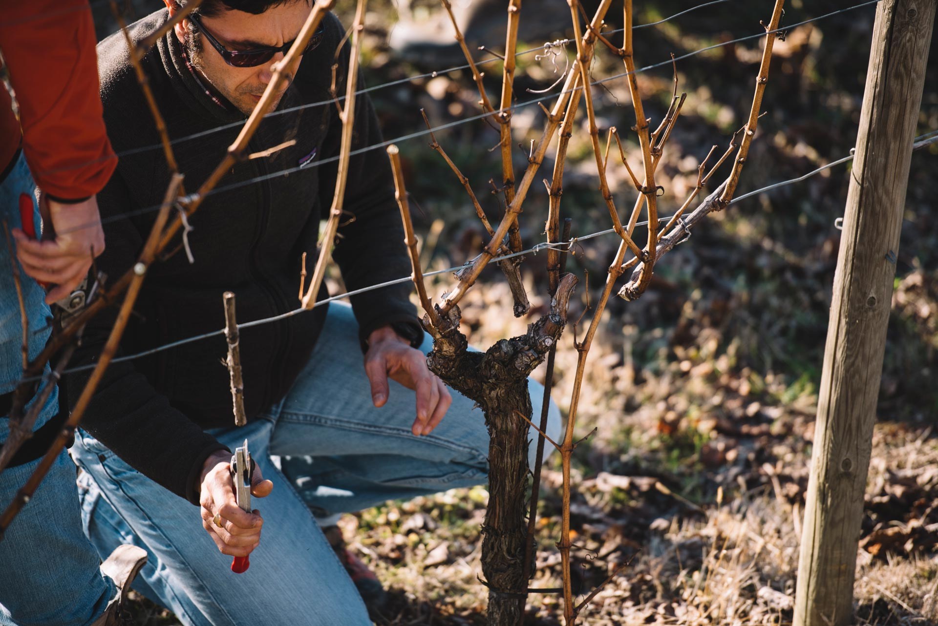 Pruning testing | Schiopetto | Collio | Friuli Venezia Giulia