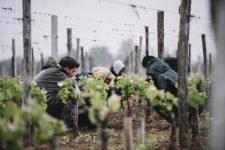 Spring training | Château Yon-Figeac | Saint Émilion | Bordeaux