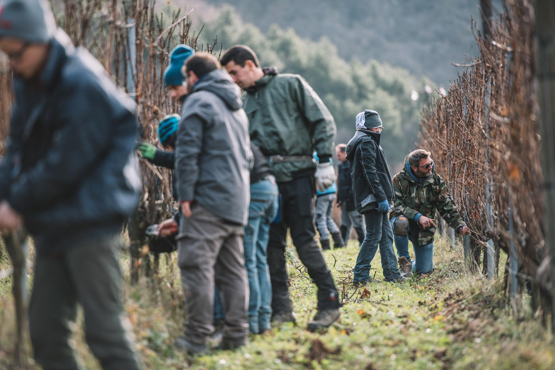Training for winter pruning of the Guyot   Ferrari   Trento